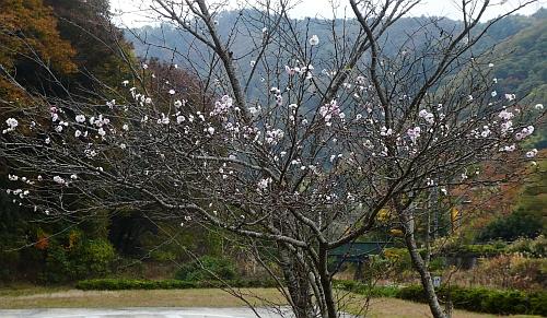 181112shikizakura02.jpg