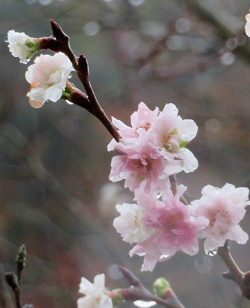 191122jugatsuzakura_shimobe01.jpg